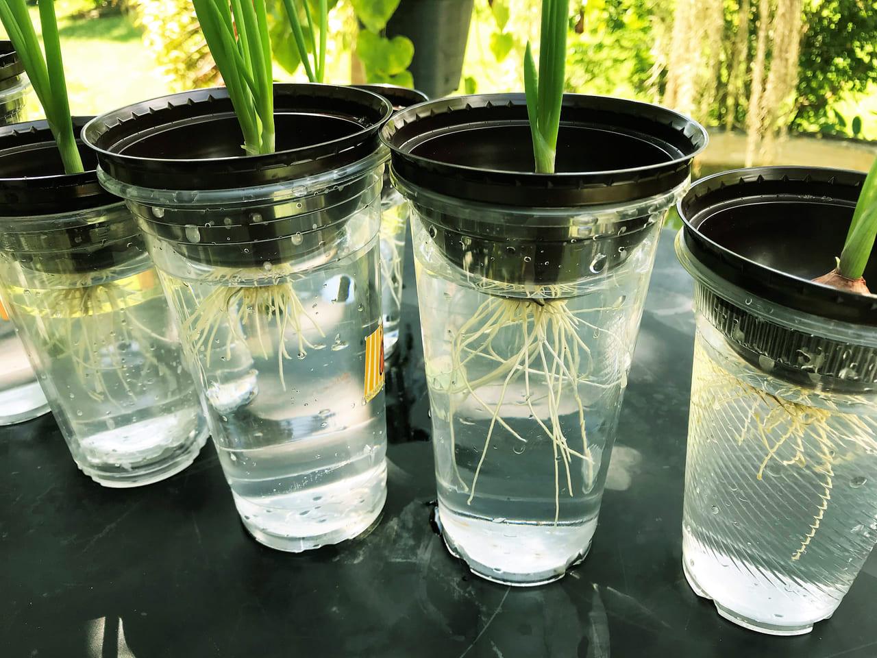 家庭菜園 水耕栽培