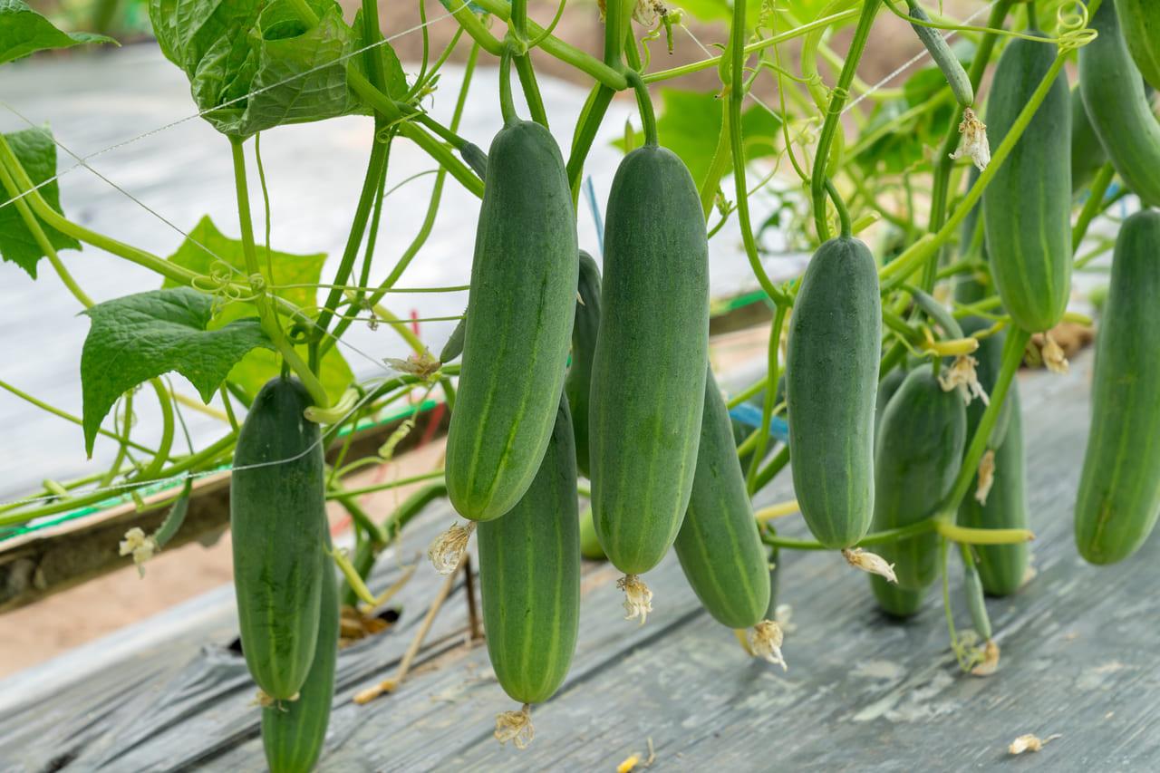 家庭菜園 きゅうり